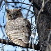 Great Horned Owl - August 25, 2014