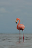 American Flamingo in the Florida Everglades July 2013