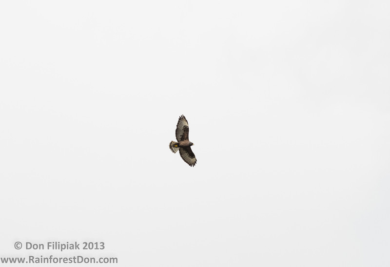 Short-tailed Hawk (Buteo brachyurus)<br /> Dark morph<br /> Everglades National Park, Florida