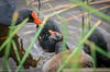 A family of Common Gallinule (<i>Gallinula galeata</i>) Delray, Florida July 2013