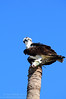 Osprey (Pandion haliaetus) with recent catch Everglades National Park October 2013