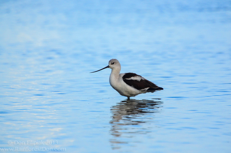 American Avocet (Recurvirostra americana) Everglades National Park October 2013