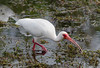 White Ibis (Eudicimus albus) eating a crayfish Everglades National Park, Florida