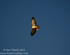Short-tailed Hawk (Buteo brachyurus) Light phase, soaring