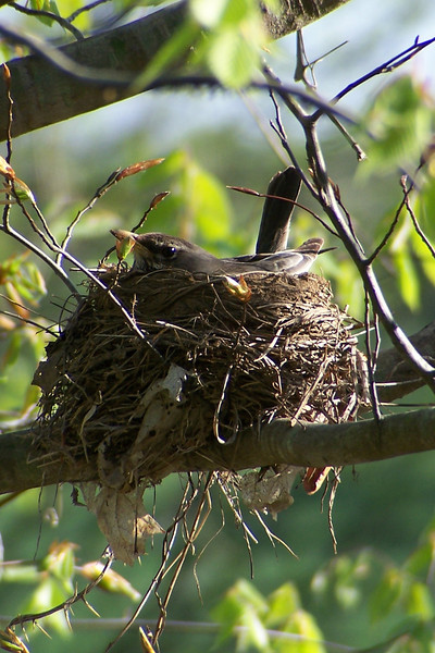 Nesting American Robin in Cherokee Park - April 23rd, 2005