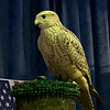 This is a Gyrfalcon. Something about the fluorescent lighting makes her look ceramic, but she's real!