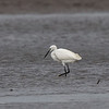 LITTLE EGRET showing plumes  Egretta garzetta