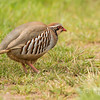 Red Legged Partridge 4