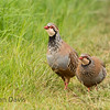 Red Legged Partridge 5