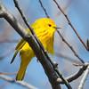 Yellow Warbler-5990