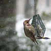 Northern Flicker Yellow-shafted