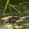 Redwing Blackbird / Female