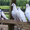 But where will they find the Olive Leaf?  <br /> <br /> Mark had 1 pair of pigeons, and the male died so he got 11 more. Several of these are white or white and black. He made a coop with a flyway out in front of it. Maybe after he hatches several out he will let them out to fly right. 1 is setting on some eggs to hatch out some more of those gargoyles, but they do get prettier as they grow up.