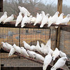 Some of the White Doves That We Have.