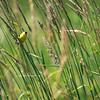 American Goldfinch, Nisqually wildlife refuge, Washington.