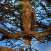 Tawny Eagle in Amboseli National Park, Kenya, East Africa