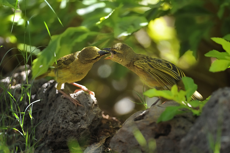 Mother Fox's Weaver Feeding Baby in Amboseli National Park, Kenya, East Africa