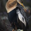 Anhinga posing at Big Cypress National Preserve, Florida