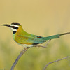 African Bee-Eater in Samburu National Park, Kenya, East Africa
