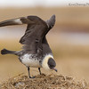 Pomarine Jaeger - Wing Stretch - Gas Fields Road