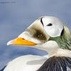 Portrait Of A Proud Spectacled Eider
