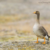 Greater White Fronted Goose on Tundra