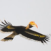 Great Hornbill in flight.