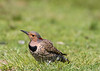Northern Flicker (Yellow-Shafted, Female)