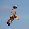 Marsh harrier (Circus aeruginosus) adult male (spring)