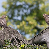 Goshawk siblings just fledged