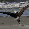 Beach Bald Eagle Take-off