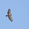 Common buzzard (<i>Buteo buteo</i>