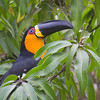 Channel-billed Toucan Botanical Gardens, Rio de Janeiro, Brazil ©Peter Candido All Rights Reserved