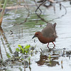 緋秧雞 (Ruddy-breasted Crake)
