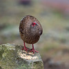 藍腹鷴 (Swinhoe's Pheasant - female)
