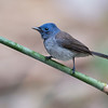黑枕藍鶲  (Black-naped monarch - Male)