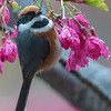 紅頭山雀 (Black-throated Tit)