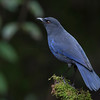 台灣紫嘯鶇 (Formosan Whistling-Thrush)