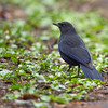 白斑紫嘯鶇 (Blue Whistling-Thrush)