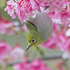 綠繡眼 (Japanese White-eye)
