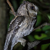 Collared Scops-Owl 領角鴞