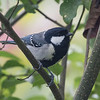 cinereous tit 白頰山雀