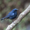 White-tailed Robin (male) 白尾鴝