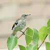 Northern Mockingbird (juvenile)
