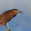 RUFOUS NIGHT HERON  Nycticorax caledonicus  Manila Yacht Club, Philippines