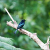 HAIR-CRESTED DRONGO <i>Dicrurus hottentottus</i> PICOP, Bislig, Surigao del Sur  standing in a light drizzle