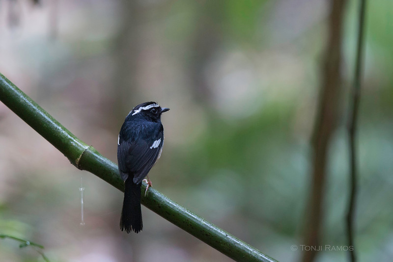 WHITE BROWED SHAMA Copsychus luzoniensis Mt. Makiling, Los Baños, Philippines
