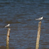 COMMON TERN on the right, Whiskered Tern on the left Sterna hirundo Balanga, Bataan