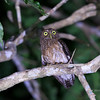 ROMBLON HAWK-OWL