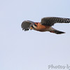 American Kestrel  Riverlands Migratory Bird Sanctuary